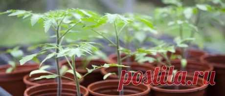 Когда сажать помидоры на рассаду в 2020 году по лунному календарю Когда сажать помидоры на рассаду в 2020 году в разных регионах. Как вырастить рассаду томатов в домашних условиях и когда высаживать в открытый грунт.