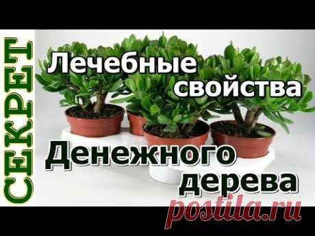 Денежное дерево - лечебные свойства и противопоказания, настойка