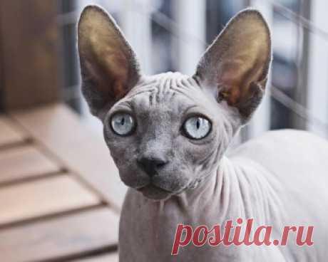 Порода петербургский сфинкс - это очень любознательные и сообразительные кошки. Они жизнерадостны и активны, любят различные игры, и вообще любят проводить время с людьми.