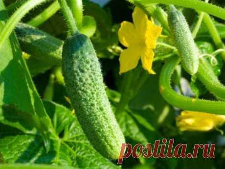 Огурцы - секреты выращивания, посадка, уход за рассадой, высадка в открытый грунт