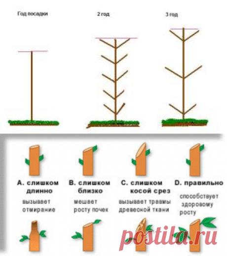 Как обрезать колоновидную яблоню: сроки,схемы и фото