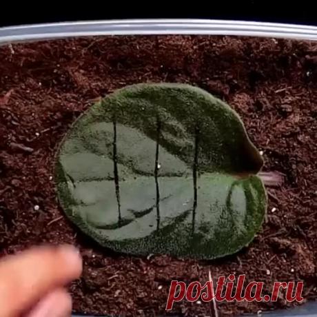 Как вырастить фиалку