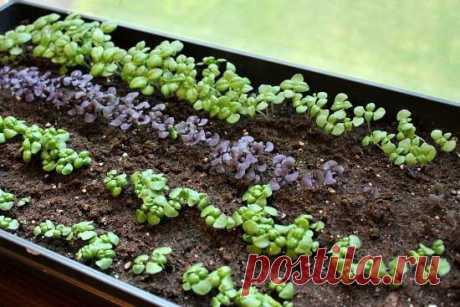 Когда сажать базилик на рассаду: календарь дачника Когда сажать базилик на рассаду: как определить оптимальное время посева семян, какие сорта базилика пригодны к посадке рассадным способом