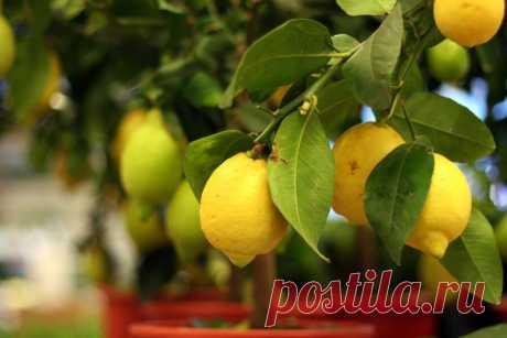 Как вырастить лимон в домашних условиях? | Растения