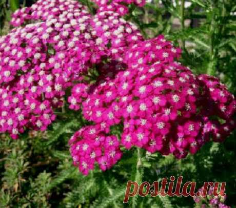Цветы Ахилла - Садовое обозрение