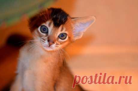 Абиссинский котенок , питомник абиссинских кошек Super-Aby