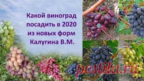 Какой виноград посадить в 2020 из новых форм Калугина