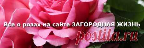 Розы садовые весной. Уход, весенняя обработка
