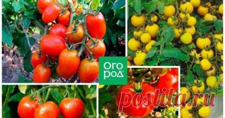 Томаты без пасынкования – лучшие низкорослые сорта, не требующие формировки Не всем дачникам хочется заниматься формировкой томатных кустов. А ведь без этой процедуры богатого урожая можно не дождаться. Но выход есть – низкорослые сорта томатов, не требующие пасынкования. Мы выбрали лучшие из них – оцените!