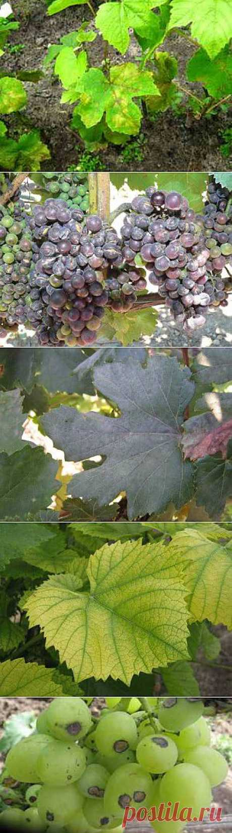 Fight against picture grapes diseases | Giving - for the future