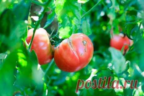 Как избежать растрескивания помидоров в теплице Тепличный способ выращивания томатов позволяет получать высокие урожаи овоща даже в районах рискованного земледелия. Однако результат многих трудов овощевода может быть «перечеркнут» испорченной формо...