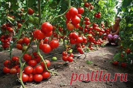 60 томатов с одного куста? Это реально! — Садоводка