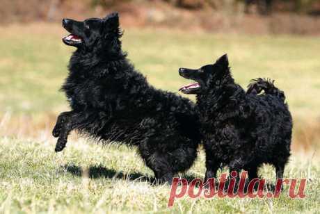 «Муди (венгерская пастушья собака)» — карточка пользователя Валентина в Яндекс.Коллекциях