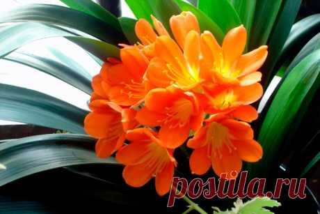 Цветок кливия: выращивание и уход, размножение, пересадка (фото)