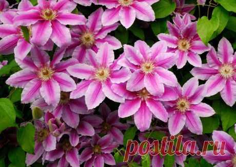 4. Клематис.11 растений, которые превратят забор в произведение искусства