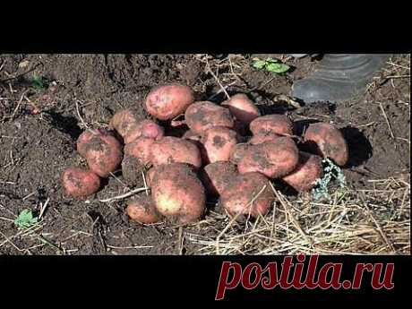 Как вырастить картофель под соломой или сеном - YouTube