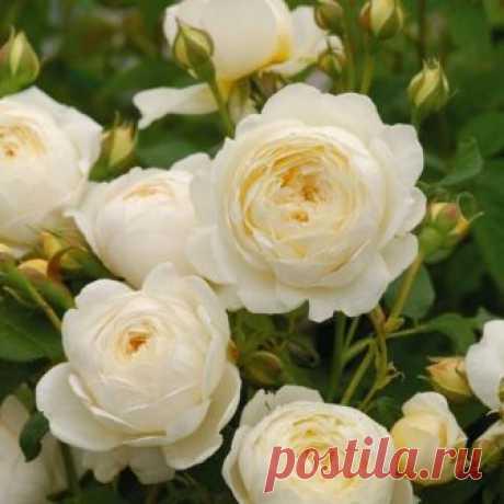 Английские розы от Дэвида Остина.