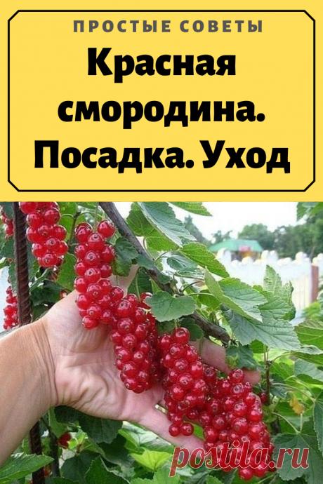 Красная смородина. Посадка. Уход.Особенности выращивания красной смородины. Что любит это растение?