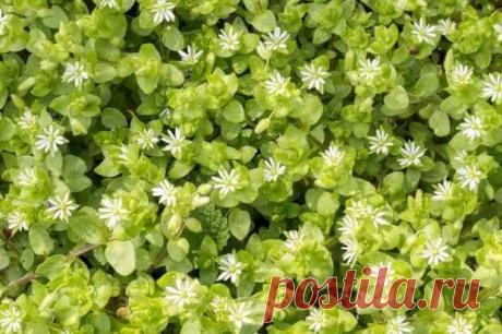 Мокрица или звездчатка средняя – назойливый сорняк