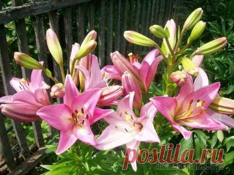 Виды и группы садовых лилий: описание и уход Сегодня в продаже можно найти большое разнообразие видов и сортов лилий. Поэтому сделать свой выбор порой бывает непросто. Давайте разберемся, на какие группы и по какому принципу делятся лилии. Разде...