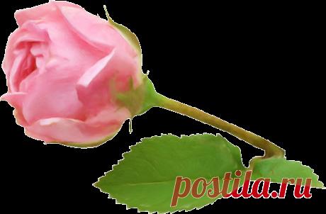 Красавица роза привитая на шиповник