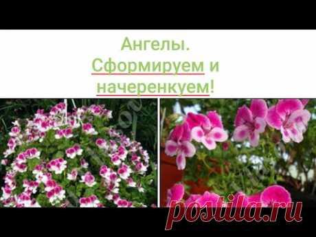 АНГЕЛЫ  или королевские виолоцветные ПЕЛАРГОНИИ.