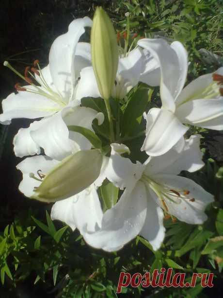 лилия-мадонна
