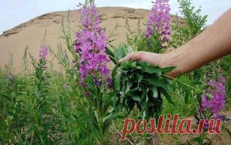 Иван-чай - эликсир жизни наших предков. Вот все, что нужно знать об этом удивительном растении!