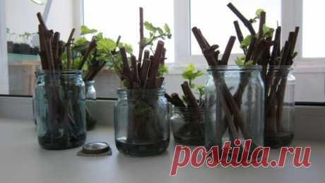 Три действенных способа ускорить прорастание черенков: корни растут как на дрожжах! | Pro100ogorod | Яндекс Дзен