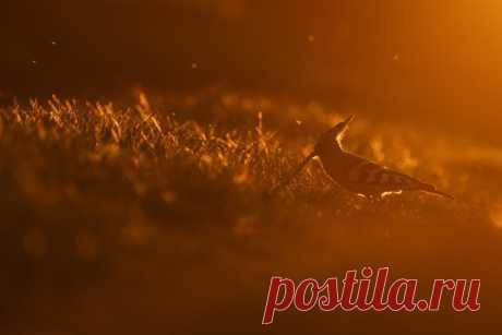 Золотая птица! «Яркое рыжее оперение удода отлично сочетается с закатными красками», – пишет Оксана Быстрицкая (nat-geo.ru/community/user/203452). Ставропольский край, апрель 2019.