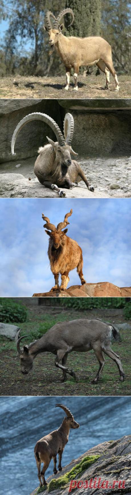 Смотреть изображения козлов | Зооляндия