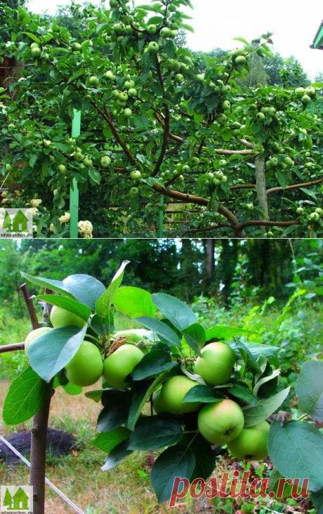 Почему нет яблок   Дачная жизнь - сад, огород, дача.  Как уменьшить периодичность плодоношения яблони.