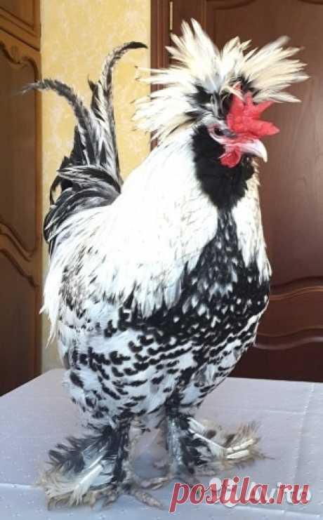 Яйца Инкубационные Павловские серебристые - купить, продать или отдать в Москве на Avito — Объявления на сайте Avito