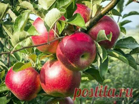 Яблоня: рекомендуемые сорта и приемы выращивания для средней полосы России