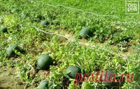 Как вырастить арбуз на даче в средней полосе: личный опыт