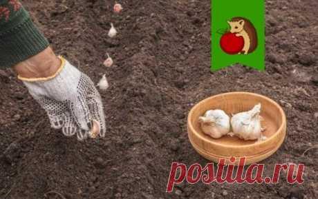 На какую грядку не стоит сажать озимый чеснок, если не хотите получить скудный урожай мелкого больного чеснока? | садоёж | Яндекс Дзен