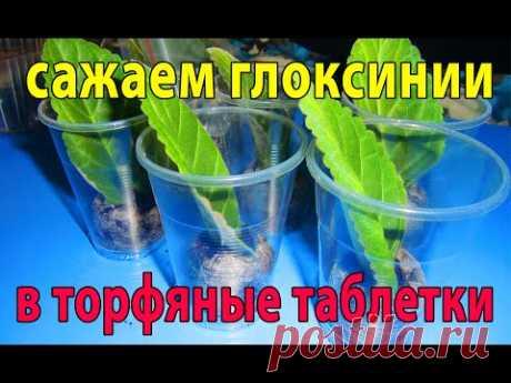 🌼Укоренение листьев глоксиний в торфяные таблетки🌼🌱How to grow gloxinia part №27