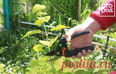 Как размножить гортензию черенками – пошаговая инструкция для новичков | Деревья и кустарники (Огород.ru)