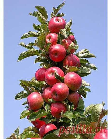 Огород, дача, советы. в Instagram: «КОЛОНОВИДНАЯ ЯБЛОНЯ. СЕКРЕТЫ УХОДА ⠀ Первое появление колоновидных яблонь приходится на тысяча девятьсот шестьдесят четвертый год. В Канаде…»