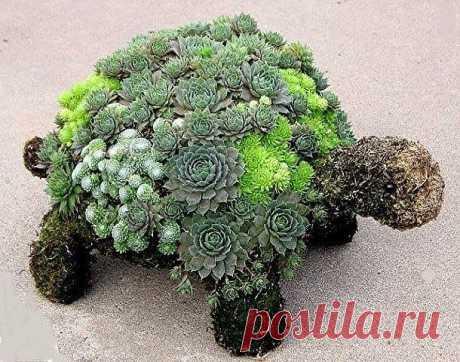 Чудо-черепаха своими руками. Дивная черепаха из цветов будет отличной идеей для оформления дачных цветников. Её можно сделать любых размеров и посадить подходящие цветы. Хорошо подходят разного вида суккуленты.