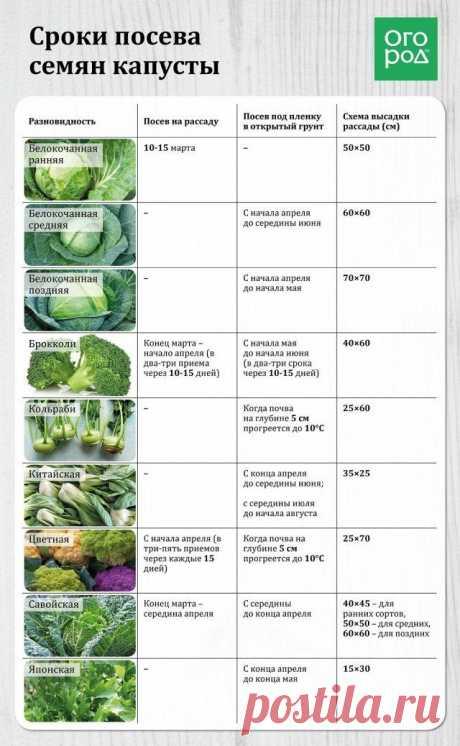 Все о посеве, выращивании и подкормке капусты (в таблицах)   Капуста, лук, чеснок (Огород.ru)