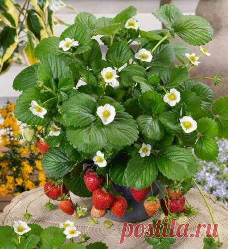 Strawberry at a window. Cultivation, landing, leaving. The photo is Ботаничка.ru