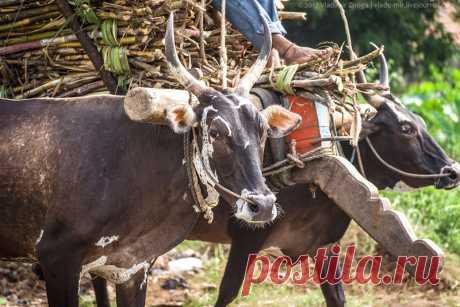 Почему корова священна в Индии? | Чёрт побери Многие знают или хотя бы слышали, что корова в Индии - священное животное! Ее не убивают, не едят, ей поклоняются, а ее права защищают не меньше, чем права самих людей. Но многие ли задумывались - почему? Почему именно корова, а не слон, например? Или не тигр? Или не лев? Или не обезьяна? Почему корова-то??? Давайте попробуем разобраться... Версия 1. Религиозная. Индия - это индуизм, и на самом деле правильнее говорить, что кор...