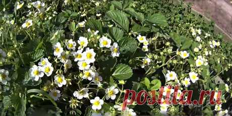 Самые лучшие и нужные подкормки для клубники | На природе, во саду и в огороде | Яндекс Дзен
