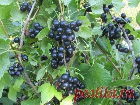 Простая подкормка, благодаря которой в конце сезона ваш куст смородины будет усыпан крупными ягодами | Дачные будни | Яндекс Дзен