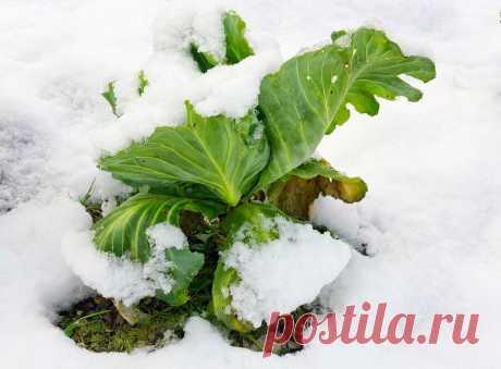 Почему я теперь не убираю корни Капусты, а оставляю их на грядке зимовать. Соседка подсказала   Домик окнами в сад   Яндекс Дзен