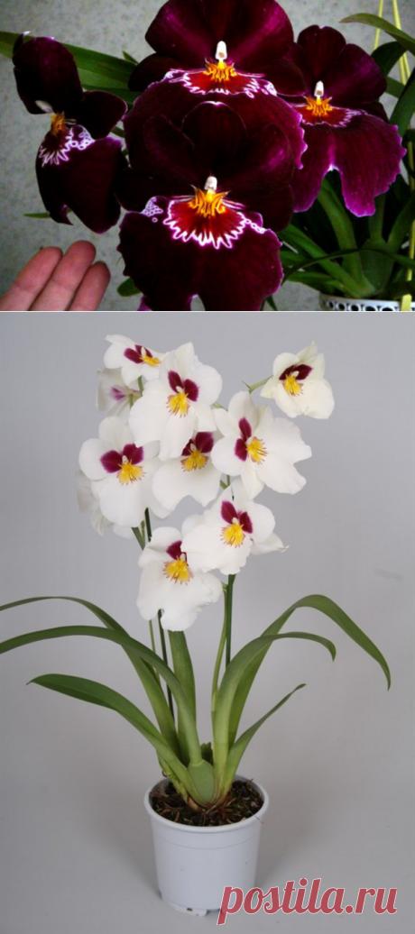 Орхидея Мильтония уход в домашних условиях - фото и видео