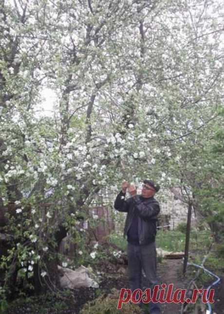 Вторая молодоcть яблони