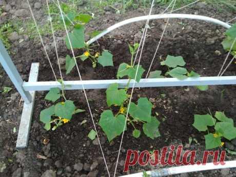 Después de la aparición primero zavyazey los pepinillos no olviden sobre la fertilización potásica