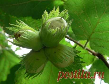Фундук будет расти и у Вас! Как вырастить полезные орешки в саду?